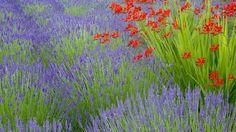 lavender-and-crocosmia on bainbridge island in washington Tall Flowers, Green Flowers, Paper Flowers, Lavender Garden, Lavender Fields, Wallpaper 3840x2160, Wallpaper Backgrounds, Wallpapers, Bainbridge Island Washington