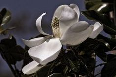 Moonlight Magnolia - by HH Photography of Florida  #magnolia #whiteflowers #blossom #home decor via @hhphotography3