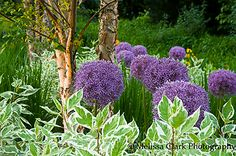 Here is another example of a good plant combination that also uses the 'Ivory Halo' dogwood and another allium. These are 'Purple Sensation,' and behind them, around the river birches, you can see Karl Foerster feather reed grasses (Calamagrostis). When the alliums disappear the grasses, which stay tall and erect, are a beautiful wheat color. https://melissaclarkphotography.files.wordpress.com/2010/01/alliums-and-birches_collins_400w.jpg?w=450