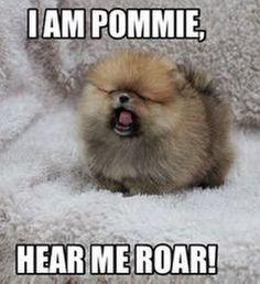 Pomeranians are awesome! Check out this list of Pomeranian dog memes that are sure to put a smile on your face. Pomeranian Memes, Spitz Pomeranian, Cute Pomeranian, Pomeranians, Pomeranian Haircut, Pomsky, Cute Dogs And Puppies, I Love Dogs, Yorkie Dogs