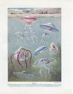 C1900 Marine Sea Jellyfish Medusa Antique Litho Print w Bolsche