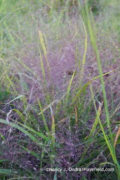 Purple love grass..eragrostis-spectabilis-at-hayefield.