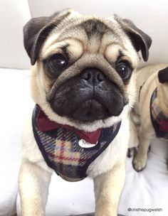 Social Pug Profile | Milo http://www.thepugdiary.com/social-pug-profile-milo/ #Pug