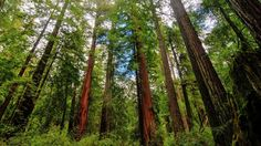 Photo about Sequoia Trees in Big Basin Redwoods State Park. Image of park, forest, lush - 32220642 Big Basin Redwoods, 7 Natural Wonders, Forest Light, Historical Association, Growing Tree, Cool Gadgets, Baby Gadgets, World Heritage Sites, Natural World