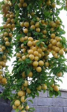 Yellow plum of Waziristan Fruit Plants, Fruit Garden, Edible Garden, Fruit Trees, Fruit And Veg, Fruits And Vegetables, Fresh Fruit, Exotic Fruit, Tropical Fruits