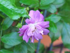 Very first bloom on Rosa 'Veilchenblau' late Oct2016 - flower is a bit more purplish than pic shows :)
