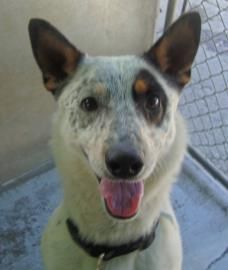 Adopt Kip, a lovely 1 year  6 months Dog available for adoption at Petango.com.  Kip is a Australian Cattle Dog / Mix and is available at the SoHumane in MEDFORD, OR