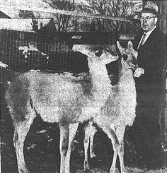 Harvey with two llamas 1955