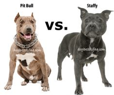 American Pit Bull Terriers and Staffordshire Bull Terriers, (more commonly referred to as Pit Bulls and Staffies) -Are the two breeds the same thing? Are Staffies Pit bulls? American Staffordshire Bull Terrier, English Terrier, Staffy Dog, Pitbull Facts, Bull Terrier Puppy, Nanny Dog, Bully Dog, Pit Bulls, Dog Breeds