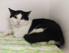 "Catherine Riche' on Twitter: ""CAW SLAW – A1065400 - might BE KILLED TOMORROW! Please RT-pledge-foster-adopt! #NYC #CATS  Please if anyone can rescue this wee cat please do it quick and stop the wee darling being killed."