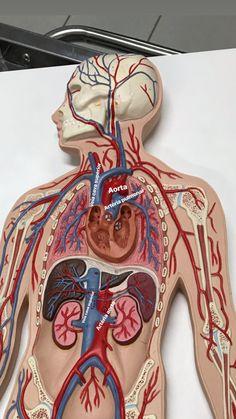 Medical Students, Nursing Students, Medical Anatomy, Medical Illustration, Med School, Biology, Medicine, Nursing Pictures, Physical Therapy