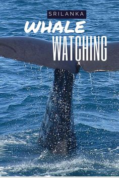 Whale Watching in Mirissa beach Sri Lanka is entertaining and exciting. Here are some tips that might come in handy for first timers.