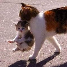 Pretty calico kitten and mother