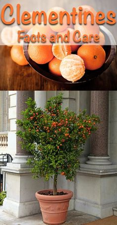 Growing Clementines indoors or out is an easy and rewarding experience. With a few simple steps youll become a master gardener with tons of juicy and sweet clementines to harvest. Growing Clementines indoors o Growing Fruit Trees, Fast Growing Trees, Growing Plants, Dwarf Fruit Trees, Fruit Garden, Edible Garden, Herbs Garden, Planting Vegetables, Growing Vegetables