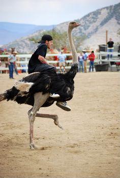 ostrich race, Nevada