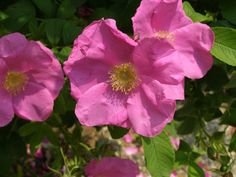 'Calocarpa' (Hybrid Rugosa)  Bruant, France, pre 1891 - single large lilac pink blooms with moderate fragrance; repeats; elongated leaves on arching canes; noted for its deep orange red hips; disease resistant; very hardy; 5'