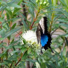 "Little Penda, Bloomfield Penda ""Xanthostemon verticillatus var"". 3mx1m slow growing bird, bee and butterfly attracting shrub."