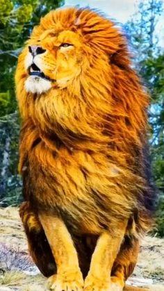Lion Wallpaper Iphone, Lion Live Wallpaper, Animal Wallpaper, Lion Images, Lion Pictures, Jesus Pictures, Nature Animals, Animals And Pets, Cute Animals