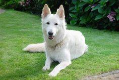 White German Shepherd Dog Breed Information, Characteristics & Facts Husky Breeds, Dog Breeds, Giant Malamute, White Swiss Shepherd, Alsatian, German Shepherd Dogs, German Shepherds, Crazy Dog Lady, Irish Wolfhound