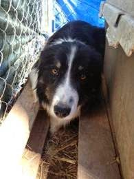 lizardmarsh - Buster, 1 yr. old border collie. Must be out by tomorrow 4/15
