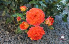 Beetrose Gebrüder Grimm °Joli Tambour, euchtend orange und gelb, später rosa - Züchter W. Kordes' Söhne 2002 (Märchenrose)