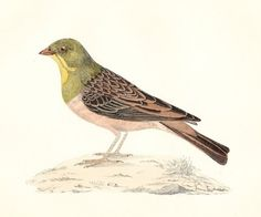 Antique Ortolan Bird Print Woodblock . Dated 1893 . art original hand coloured