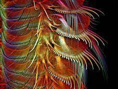 Przydatki skorupiaka artemia (powiększenie 100x), fot. Igor Robert Siwanowicz