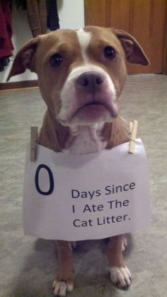 """""""0 days since I ate the cat litter."""" Our dog got into a friends cat litter the other day and she then regretted it herself. She apparently did not like the taste very much lol"""