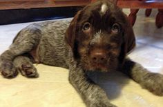 Gifford the Wirehaired Pointing Griffon