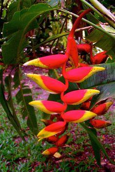 Tropical flora, Jamaica