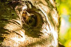 Photographie de Nicolas Vaille-Culliere : Nyctale de Tengmalm (Aegolius funereus) sur le plateau de Devès (Haute-Loire) le 18 mai 2020. Mai, Magazine, Travel Report, Ride Or Die, Tray, Photography, Magazines