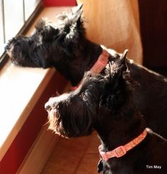 I love how scotties look out the windows