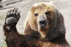 Bear (Source: Canada Turismo no Facebook - Desejamos a todos uma ótima semana! Canada Turismo, sua melhor viagem pelo CANADÁ!)