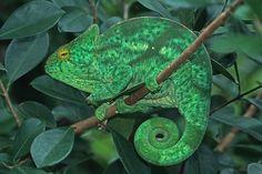 Parson's Chameleon female
