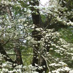 Dogwoods in March - my very favorite tree!