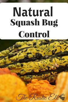 Need to know how to control squash bugs- naturally? Look no further, here are 10 ways to naturally control these destructive pests in your garden!