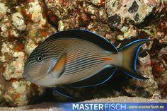 Arabischer-Doktorfisch - Acanthurus Sohal - Aquarientiere auf MasterFisch online kaufen Fish, Pets, Animals, Types Of Animals, Animales, Animaux, Pisces, Animal, Animais