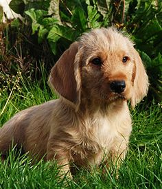 Basset Fauve de Bretagne- Definitely French dog