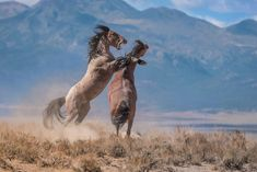 More than wild horses live on Western rangelands that can only supposedly support animals. Can the government, ecologists, and advocates find a humane solution for managing them? Majestic Horse, Majestic Animals, Photomontage, Beautiful Creatures, Animals Beautiful, National Geographic Adventure, National Geographic Photography, Most Beautiful Horses, Wild Mustangs