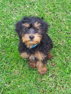 Cavoodle Puppy ♥