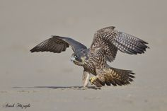 Juvenile falcon and his toy by Ari Hazeghi on 500px