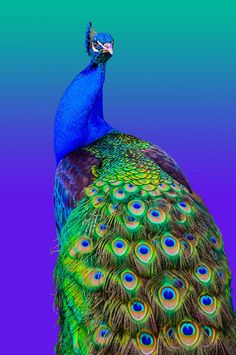 Aviary Print featuring the photograph Peacock by Brian Stevens