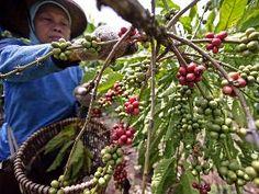 Indonesia coffee farming