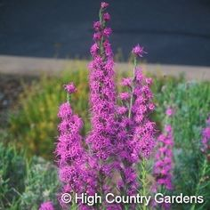 """Gayfeather (Liatris punctata) 12-18"""" x 8-12"""" wide, Native to the western short…"""