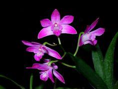 Dendrobium Kingianum | Dendrobium kingianum
