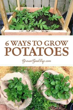 Whether you are striving for a few gourmet fingerling potatoes for fresh eating or growing a large crop for winter food storage, here are several different ways to grow potatoes in your garden. Visit to learn more. Potato Gardening, Organic Gardening, Vegetable Gardening, Planting Potatoes, When To Plant Potatoes, Grow Potatoes In Container, Urban Gardening, Indoor Gardening, Gardening For Beginners