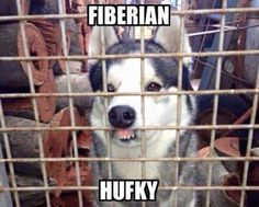 Funny pictures about If Moon Moon And Phteven Had A Baby. Oh, and cool pics about If Moon Moon And Phteven Had A Baby. Also, If Moon Moon And Phteven Had A Baby photos. Husky Humor, Funny Husky Meme, Dog Quotes Funny, Funny Animal Memes, Cute Funny Animals, Funny Animal Pictures, Funny Cute, Funny Dogs, Funny Memes