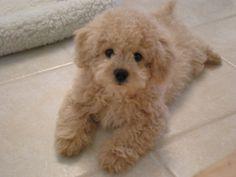 teddy bear dog muppet maltipoo · lhasa-poo