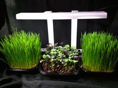 "I recently read a thought provoking posting by Maria Rukavina entitled ""A Micro Proposal"". In it she highlights a wider use of microgreens in programs to help adults and children obtain nutrition..."