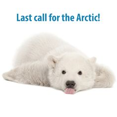 Watch a little polar bear cub experience snow for the first time Facts About Bears, Baby Animals, Cute Animals, Save The Arctic, Eskimo Kiss, Baby Polar Bears, Did You Know Facts, Bear Cubs, Beautiful Creatures